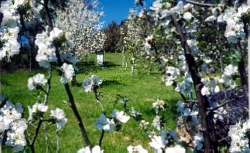 Spring blossom in the orchard