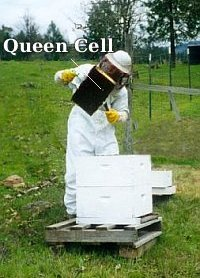 Queen cell discovered
