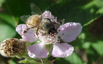 old bee with frayed wings on a blackberry blossom