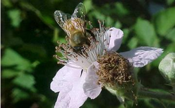 young bee with fresh wings on a blackberry blossom