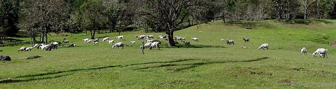 Panorama of the pasture with the herd