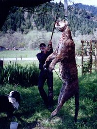 large lion being weighed for the state records